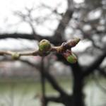 桜の花ももう少しで開きそう