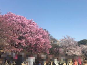 桜のグラデーションが美しい