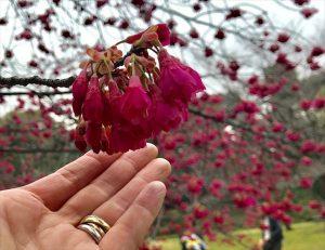 オトナのピンク 寒緋桜